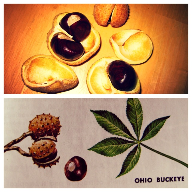 Maggie's Mind Mumbles//: Ohio Buckeye tree nut and leaves